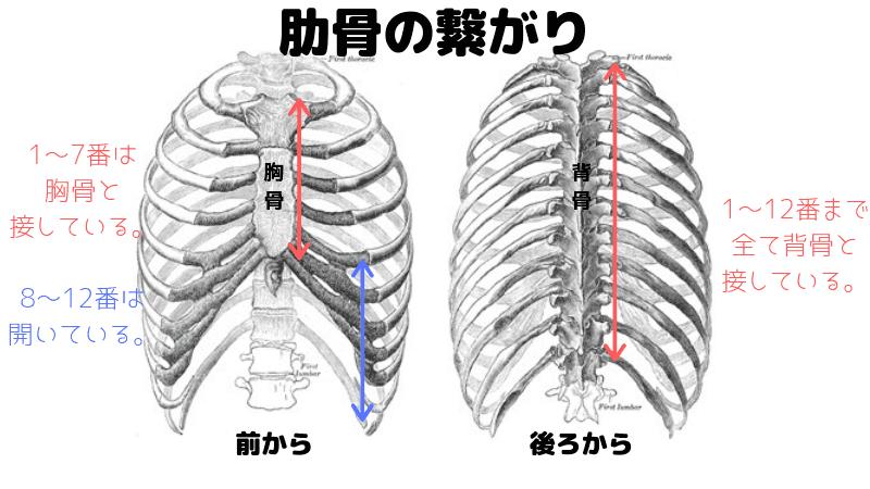 肋骨の関節と動きやすさ